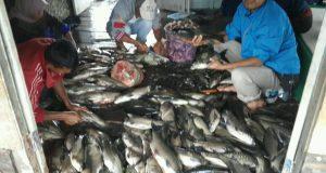 Ikan Danau Lut Tawar Megap-Megap dan Mati, Ini Penjelasannya