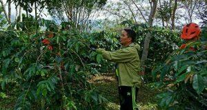 Setiap Kecamatan Di Bener Meriah Harus Miliki Kebun Induk Kopi