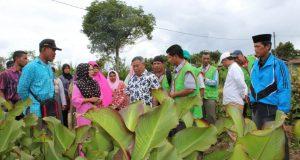 Kunjungi Atu Lintang, Kadistanbun Aceh Puas Lihat Hasil Panen Petani