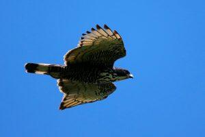 Elang Gunung (blyth's hawk eagle) di Gunung Burni Telong