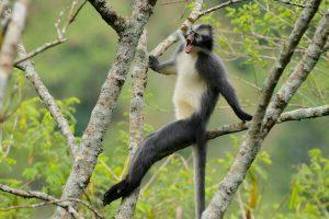 Kedih (Thomas Leaf Monkey) di Gunung Burni Telong